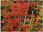Peaceful Trees Thanksgiving Card H4130U-AA